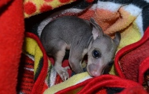 Stevie the baby marsupial